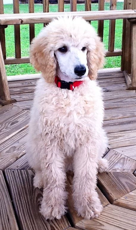 Standard Poodle Puppy - They're so cute with their coat like this!