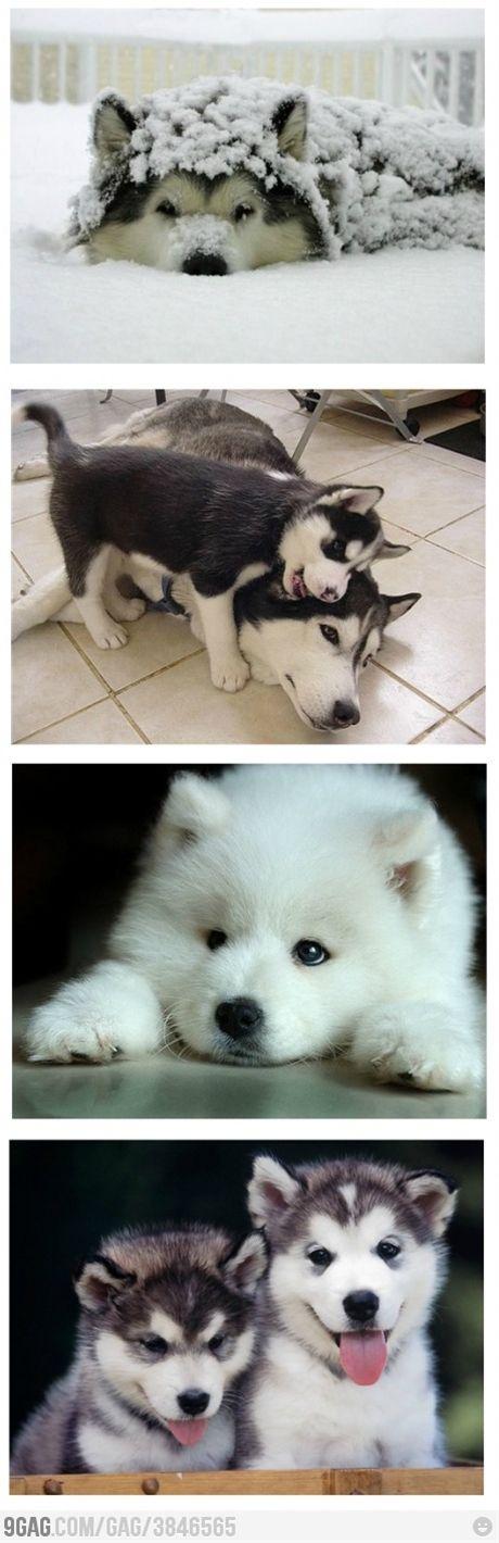 Such cute huskies!!!!!!!