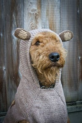 Sunshade, a super duper Airedale, looking extra