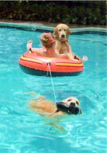 Swimming Pool Fun-Golden Retrievers
