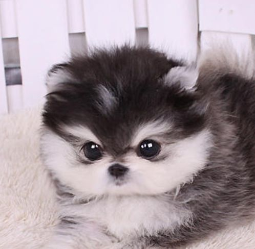 Teacup puppy with husky colors!