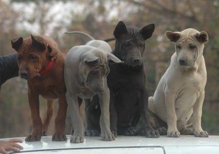 Thai Ridgeback Dog puppies