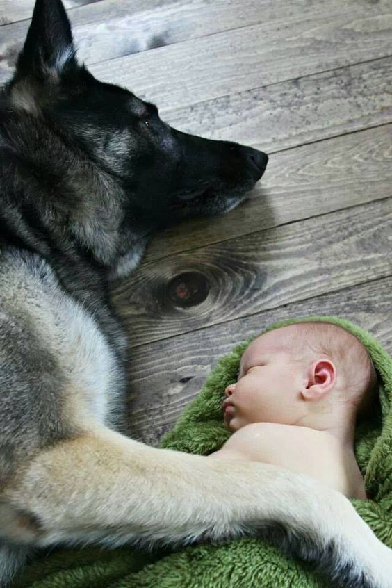That GSD will always guard that child. ♥
