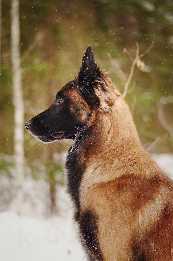 The Belgian Shepherd Malinois