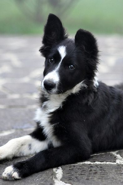 The Best Dog Ever, Brains, Beauty, You can never have to many Border Collies! The dog that does your work for you and works like a dog!