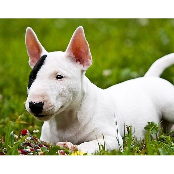 The Bull Terrier is a robust, big-boned terrier who moves with a jaunty stride that suggests both agility and power. The breed's hallmark is a long, egg-shaped head with erect and pointed ears, and small, triangular eyes that glisten with good humor.