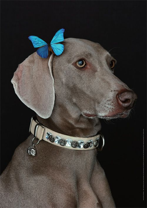 The MiladyMaraner (by William Wegman)
