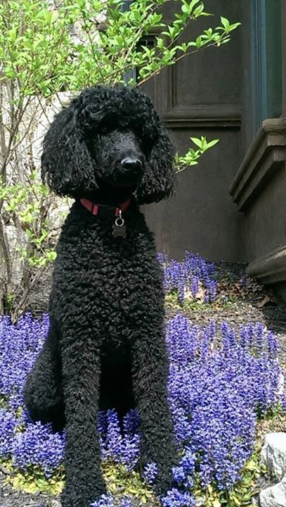 """The Poodle Patch — """"Helping"""" mom with the gardening Submitted"""