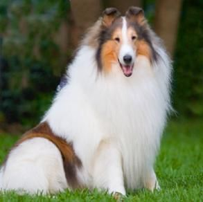 The white collie: rare, we bred and owned a few beautiful white collies.