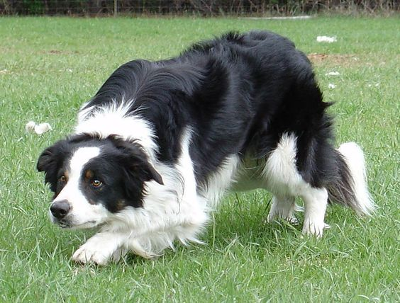 The working Border Collie's renowned intelligence & loyalty have made it much loved & indispensable to Irish sheep farmers for centuries.