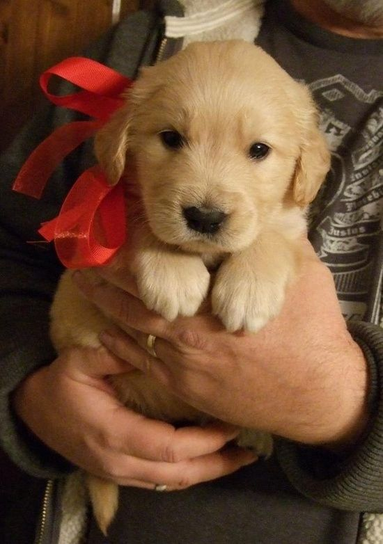 They're the best kind of holiday gift you can get. | 15 Reasons Why Golden Retrievers Are The Best Dogs Ever