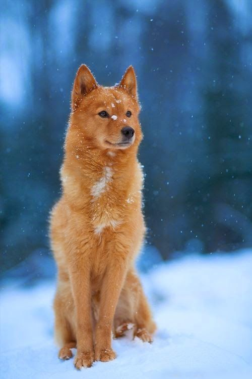 This agile and hardworking breed resembles a fox in many ways. The Finnish Spitz features erect ears, a dense coat, and a bushy tail, appearing in a range of colors from pale honey to deep