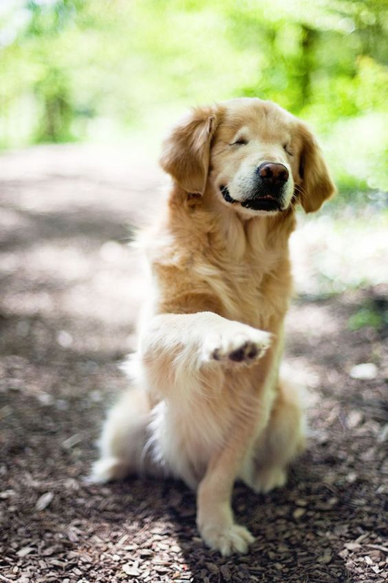 This blind therapy dog, Smiley the Golden Retriever, will brighten your day and make you so happy with his insane cuteness.
