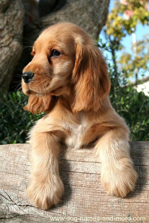This cute Cocker Spaniel puppy is looking for unique brown dog names. Find more cute pics like these on our