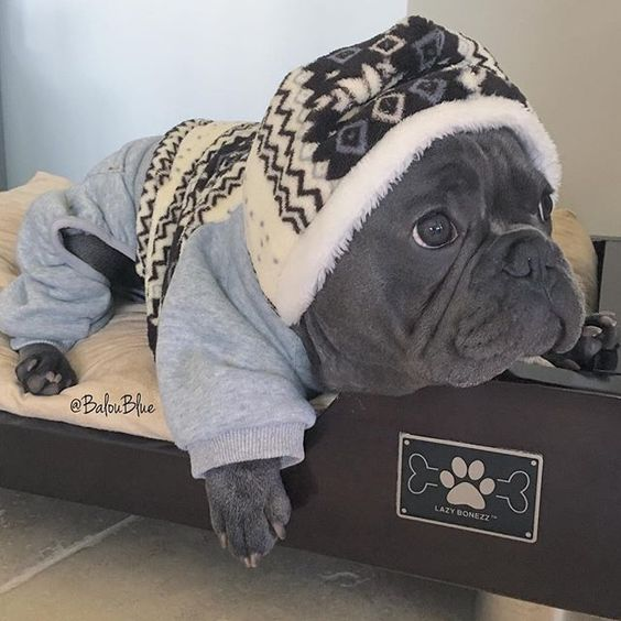 This is a French Bulldog Puppy in a Onesie, why? Because the temperature dropped below 60 in Florida last night. @baguettedujour Bed: @LazyBonezz