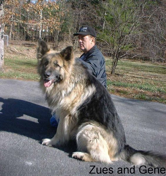 This is breeder of this dog, which I love! Large Long Coat Old Fashioned Style Giant German Shepherd Dogs