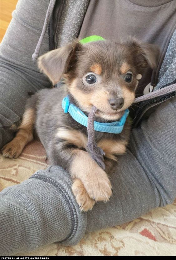 This little guy is a Chihuahua-Dachshund mix and weighs a whole 3 pounds