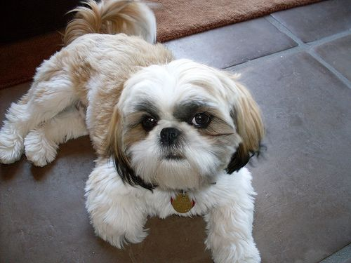 This little guy looks just like my old Squeaky!  little fellah! Shih  Dogs in the world!