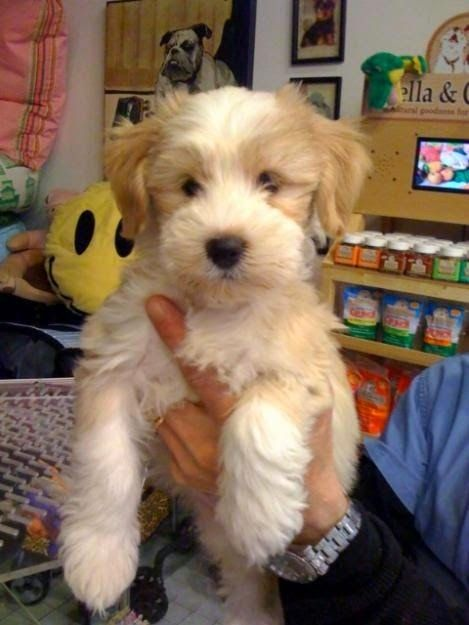 Tibetan Terrier is a small-medium sized dog breed originated in Tibetan  Terriers have long haired  Terriers are considered as one of the most ancient existing dog  are easy to train and have ability to get along well with children and other  are ranked as the most ideal breed for small apartment livings.