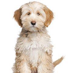Tibetan Terrier. Wonder if its name is Buffy?