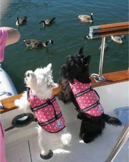 tiffy just got her pink polka dot Paws Aboard life jacket so she can safely go  handle on top is awesome to pluck them out of the water!