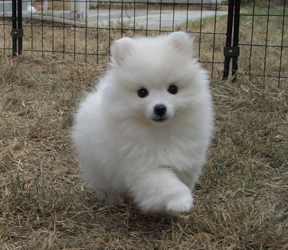 Toy American Eskimo. Intelligent, alert, friendly, and eager to please, the Toy American Eskimo loves to be in your company and doesn't do well without lots of love and attention. It is a beautiful, small to medium-size Nordic-type dog that looks like a miniature Samoyed. (Kaitlyn)