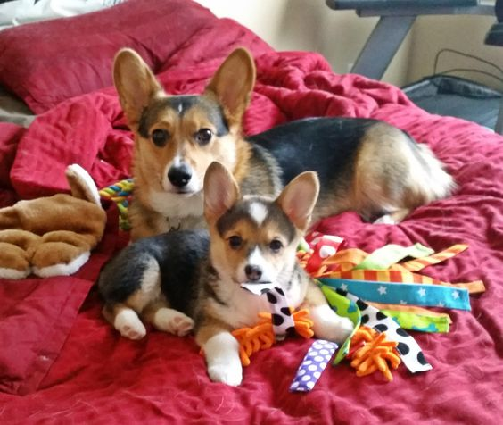 Vegas and Aria the Corgis