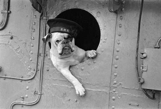 Venus the Bulldog was the sassy mascot of the Royal Navy destroyer HMS VANSITTART. (1941) - Found via Buzzfeed