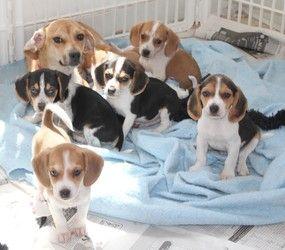 Wanda and 1 baby (Bench Beagles): Beagle, Dog; Mechanicsburg, PA