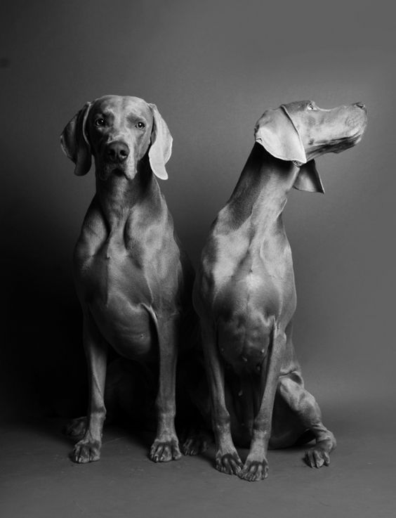 Weimaraner - Personality Dog Photographer | The McCartneys Dogs