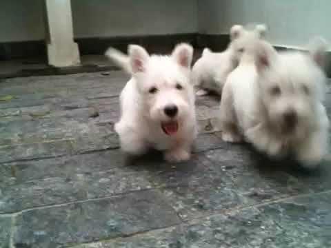 Wheaten Scottie puppies. I can't handle it.