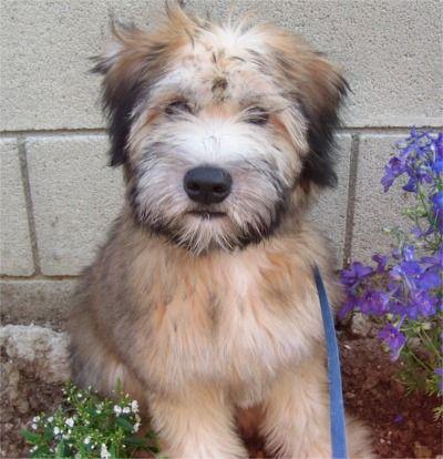 Wheaten terrier
