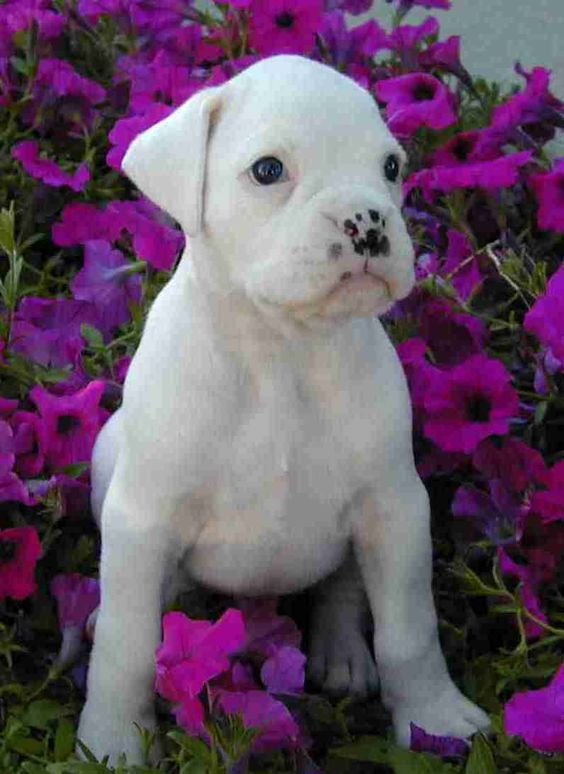 White Boxer  at those freckles