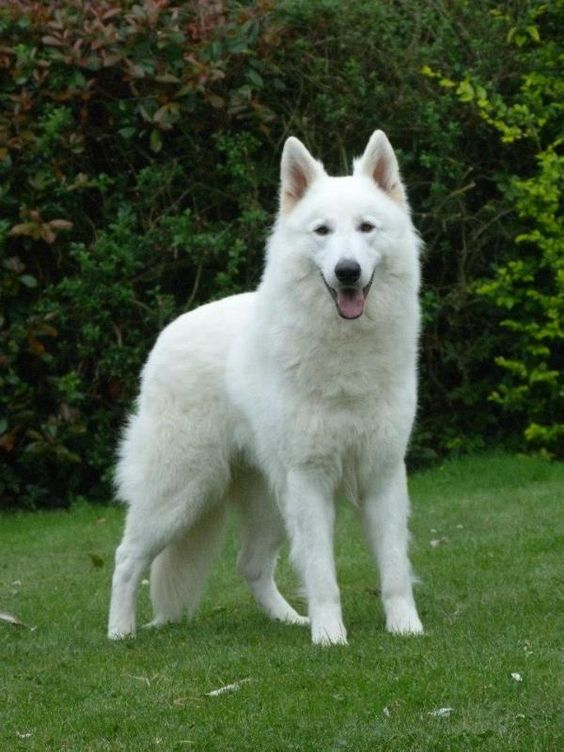 White German shepherd, the best dogs in the world!