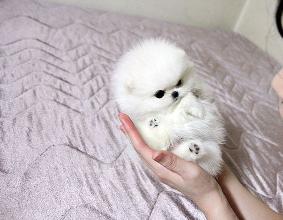 White Teacup Pomeranian