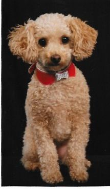 Why Your Next Pet Should Be A Toy Poodle