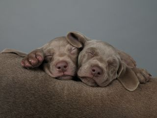 William Wegman puppies