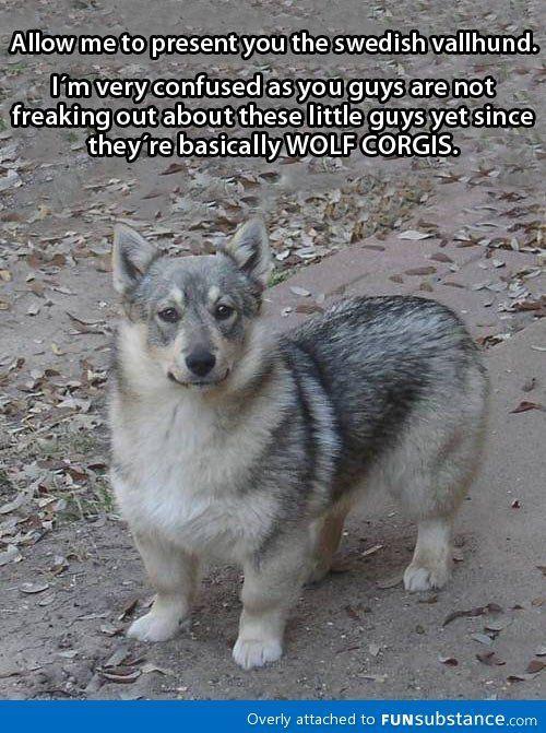 Wolf Corgi = This awesome dog