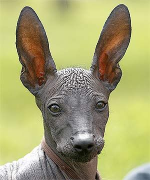 Xoloitzcuintle, the rare Mexican hairless dog. Archaeological evidence indicates that this strangely (almost) bald breed has been around for more than 3,000 years in Mexico. These dogs make excellent companions, as the Aztecs apparently knew since they were considered to be sacred. They believed the dogs were needed by their masters' souls to help them safely through the underworld.