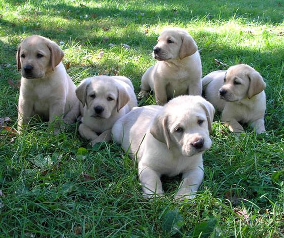Yellow lab puppies! I want them all.