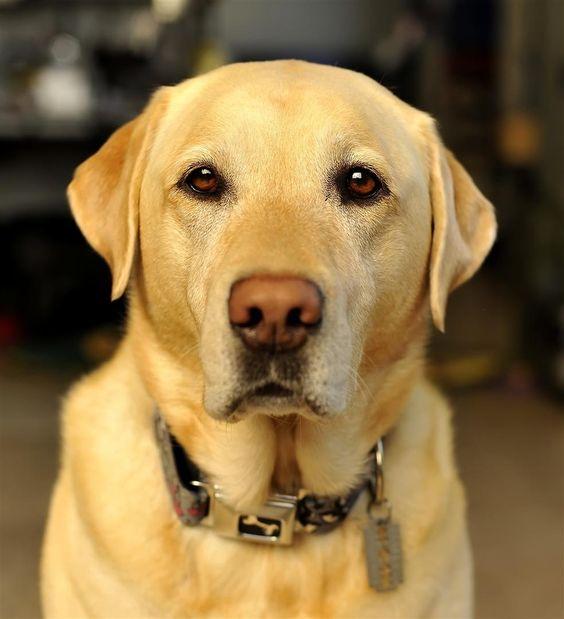 Yellow Labrador Retriever : magnifique!!