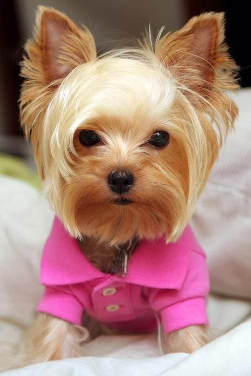 Yorkie all dressed up for a night on the town