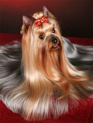 Yorkshire Yorkie Terrier Puppy Dog