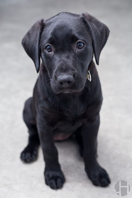 You can't live without owning a Labrador Retriever