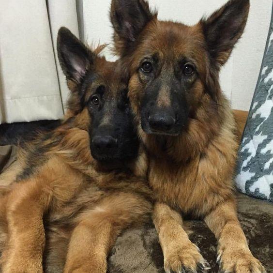 You've got a friend in me!   Featured Account @satoshi_mura  #friends #germanshepherd #gsdsofigworld #dogsofinstagram #dogs #germanshepherdsofinstagram #close #germanshepherds by gsdsofigworld