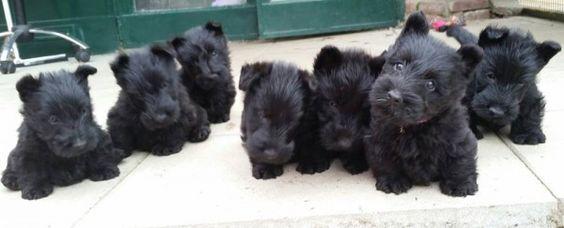 zomg scottie puppies Beautiful scottie babies!
