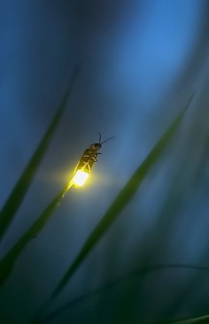 A Firefly.