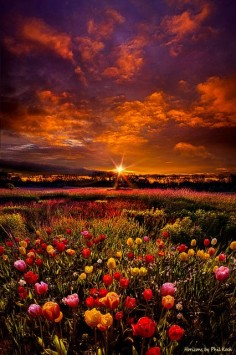 ~~Bear Witness to the Light | Tulip sunrise, Wisconsin by Phil Koch~~