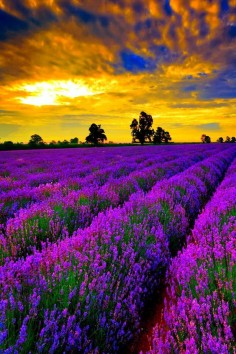 Beautiful field of Lavender at sunset.  Go to  or just click on photo for home videos and much more on sites like this.
