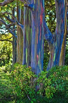 Beautiful Rainbow Eucalyptus Tree. Saw these in Maui and thought they were painted this way, we later found that its just one of the amazing natural wonders Hawaii has to offer.